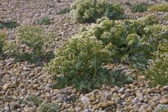 Stock Photo of sea kale, chesil beach, dorset, england