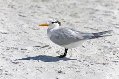 Royal tern on a beach, sanibel island, florida Stock Photos