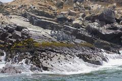 Humboldt penguin colony, palomino islands, callao, lima, peru Stock Photos