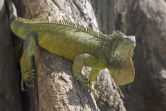Green iguana, parque bolivar, guayaquil, ecuador Stock Photos