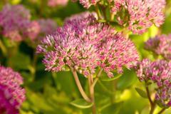 sedum spectabile in flower - stock photo