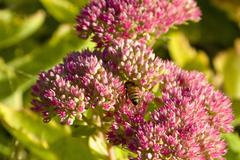 Stock Photo of honey bee feeding on sedum spectabile plant