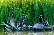 Stock Photo of cormorants