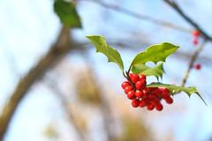 common holly red berries - stock photo