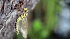 Birth of the dragonfly, new life, born Stock Footage