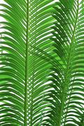 Texture of palm tree leaves Stock Photos