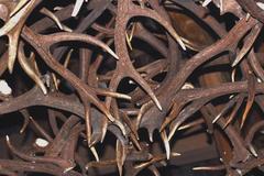 red deer antlers - stock photo