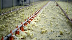 Chicken farm with chickens a few days old Stock Footage