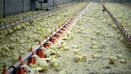 Stock Video Footage of Chicken farm with chickens a few days old