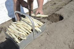 Asparagus harvest - stock photo