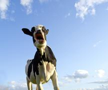 astonished looking cow - stock photo