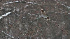 Waxwing Stock Footage
