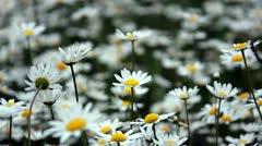 Daisy field flowers summer Stock Footage