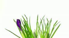 Stock Video Footage of crocus flowers on white 2, timelapse