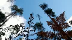 ferns pine blue sky white clouds forest industry economy - stock footage