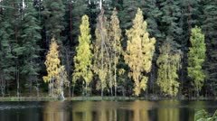 Forest autumn lake water yellow birch Stock Footage