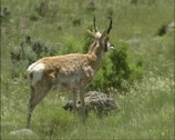 Stock Video Footage of Pronghorn, Antilocapra americana in american prairie at Gardiner