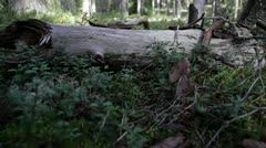 Old log forest industry cowberry leaves Stock Footage
