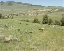 Pronghorn, Antilocapra americana in american prairie at Gardiner - wide shot Stock Footage