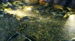 South american sheatfish Stock Footage