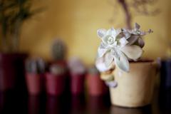 succulent plant decoration - stock photo