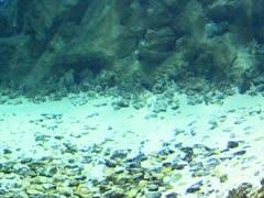 Guitar fish ( rhinobatus rhinobatus ) Stock Footage