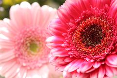 beautiful, artistic gerbera flower - stock photo