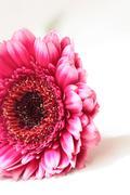 Beautiful, artistic gerbera flower Stock Photos