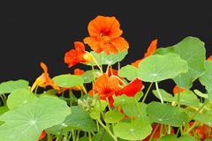 Beautiful nasturtium flowers close up Stock Photos