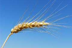 Nature barley natural outdoor spike ear blue sky Stock Photos