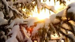 Sunlight and spruces in winter, moving - stock footage