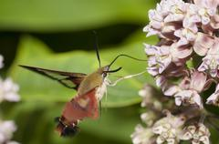 Hummingbird Clearwing Moth - stock photo