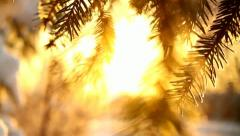 Spruce-tree close-up, sunset, focus shift Stock Footage