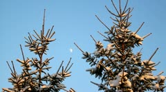 Two spruces in winter on clear blue sky covered with snow, evening sunlight Stock Footage