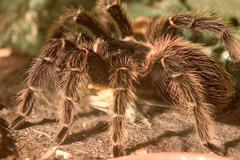 Big fear hair spider bird animal arachnid body Stock Photos
