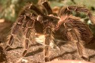 Stock Photo of big fear hair spider bird animal arachnid body