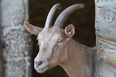 Music art goat head horn stable animal bitchy Stock Photos