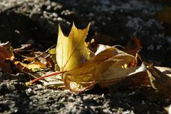 Art leaf acer autumn beam brown closeup curve Stock Photos