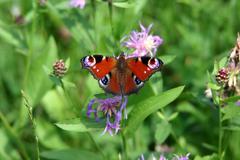 Kukka perhonen kukka lentää hyönteinen siipi riikinkukko Kuvituskuvat