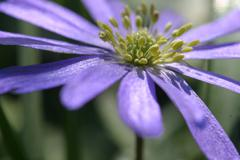 Flower spring anemone blue garden lilac pollen Stock Photos