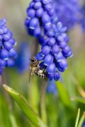 Spring bee blue colorful garden grape hyacinth Stock Photos