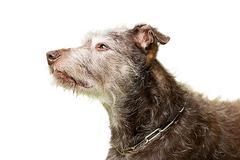 dog beard crossbreed eye grey head nose observe - stock photo