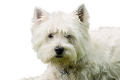 Koiran turkiksen hiukset pet West Highland terrieri eläin Kuvituskuvat