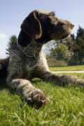 Dog brown farm animal fur grass green lawn pet Stock Photos