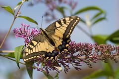 Butterfly summer alps big bright dovetail wing Stock Photos
