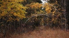 Autumn forest. Stock Footage