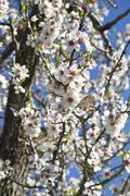 almond tree blossoms - stock photo