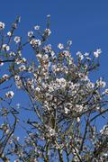 Almond tree blossoms Stock Photos