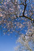 Stock Photo of almond tree blossoms