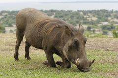 Adventure colour horizontal national park pig Stock Photos